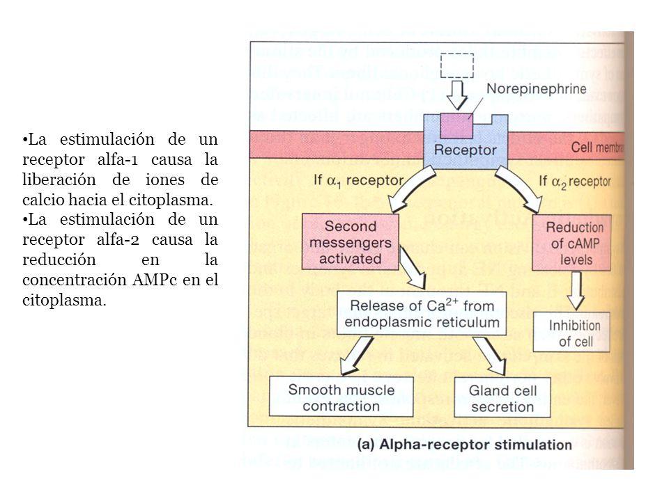 La estimulación de un receptor alfa-1 causa la liberación de iones de calcio hacia el citoplasma.