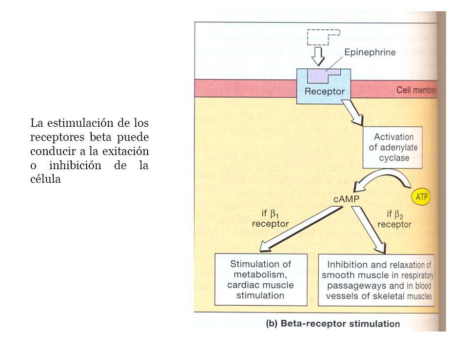 La estimulación de los receptores beta puede conducir a la exitación o inhibición de la célula
