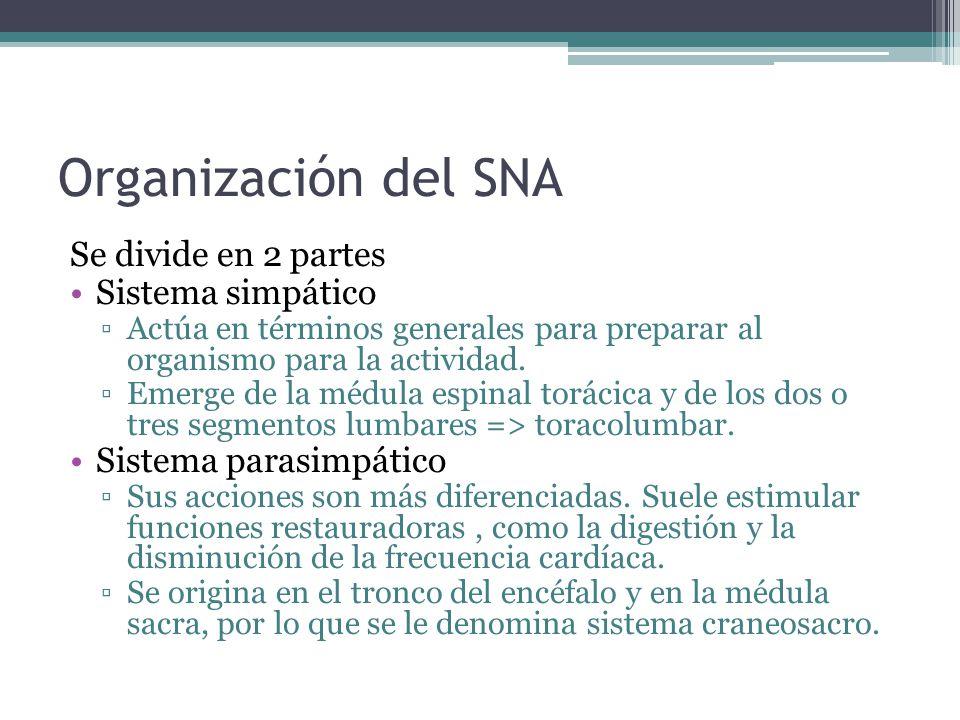 Organización del SNA Se divide en 2 partes Sistema simpático
