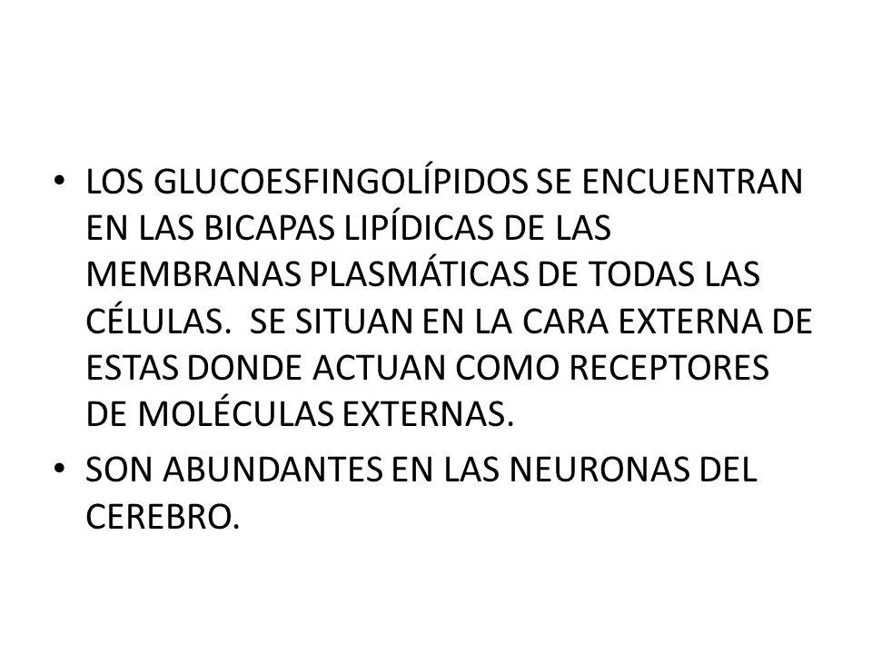 LOS GLUCOESFINGOLÍPIDOS SE ENCUENTRAN EN LAS BICAPAS LIPÍDICAS DE LAS MEMBRANAS PLASMÁTICAS DE TODAS LAS CÉLULAS. SE SITUAN EN LA CARA EXTERNA DE ESTAS DONDE ACTUAN COMO RECEPTORES DE MOLÉCULAS EXTERNAS.