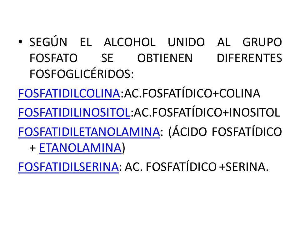 SEGÚN EL ALCOHOL UNIDO AL GRUPO FOSFATO SE OBTIENEN DIFERENTES FOSFOGLICÉRIDOS: