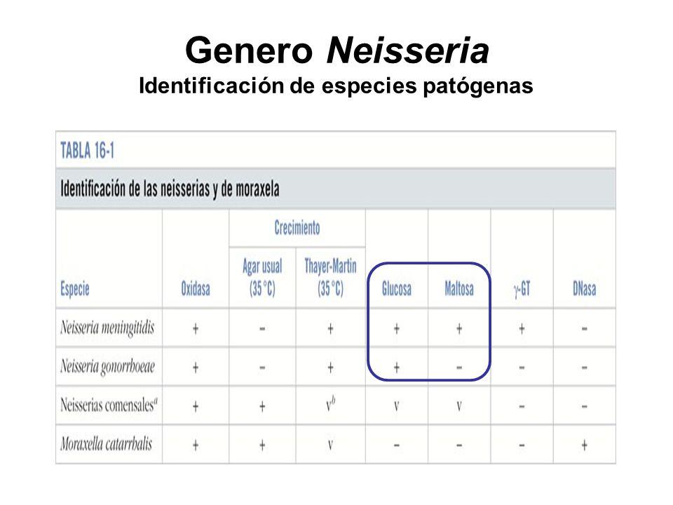 Genero Neisseria Identificación de especies patógenas