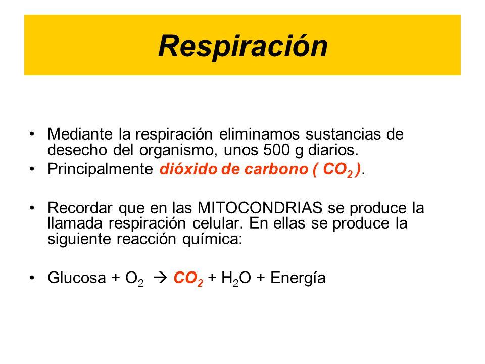 Respiración Mediante la respiración eliminamos sustancias de desecho del organismo, unos 500 g diarios.