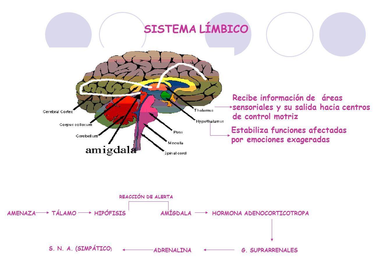 SISTEMA LÍMBICO Recibe información de áreas sensoriales y su salida hacia centros de control motriz.