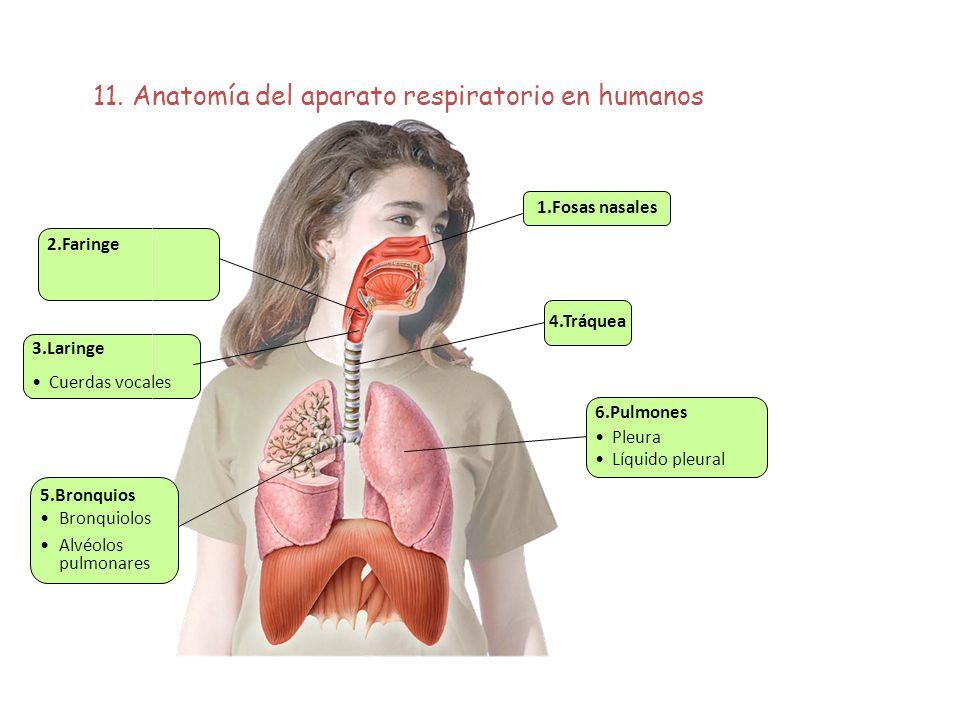 11. Anatomía del aparato respiratorio en humanos