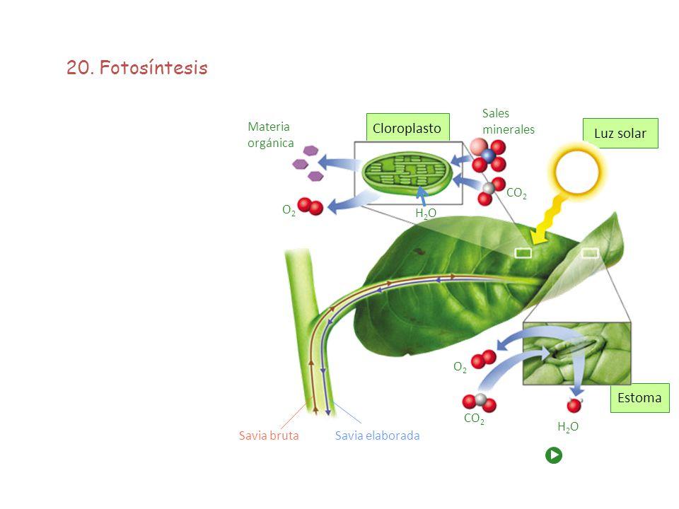 20. Fotosíntesis Cloroplasto Luz solar Estoma Sales minerales