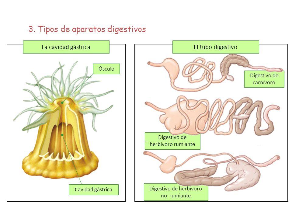 3. Tipos de aparatos digestivos