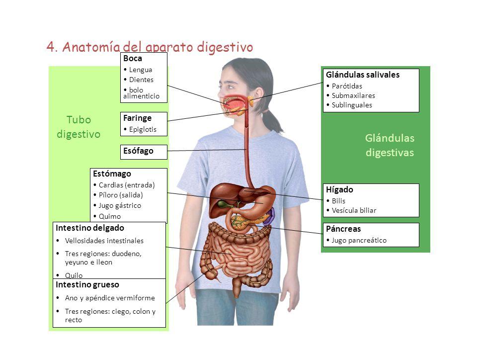 4. Anatomía del aparato digestivo