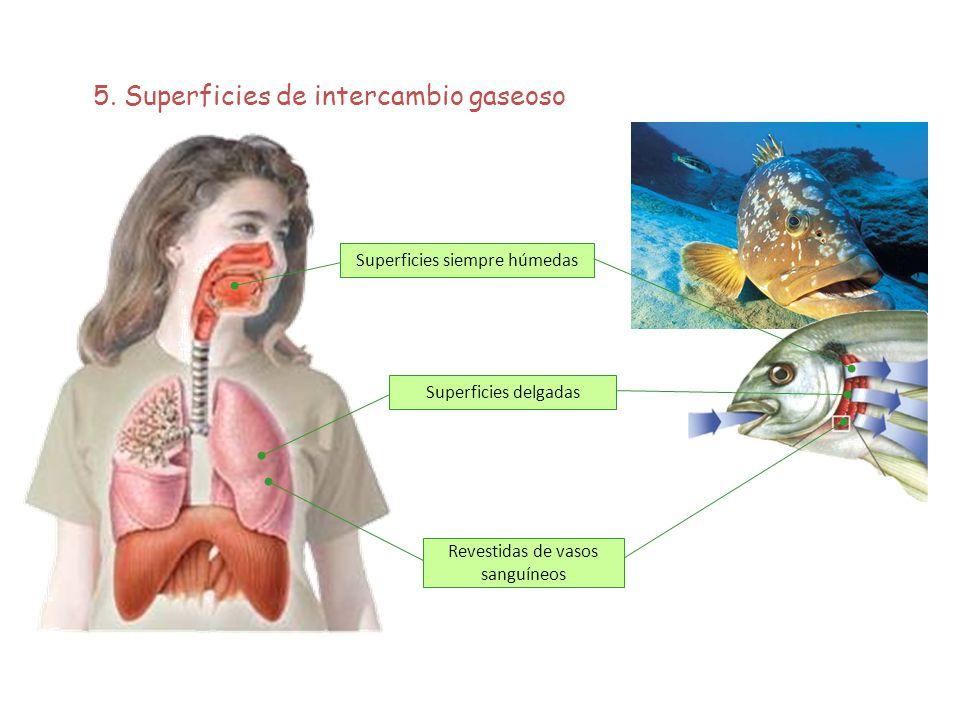 5. Superficies de intercambio gaseoso
