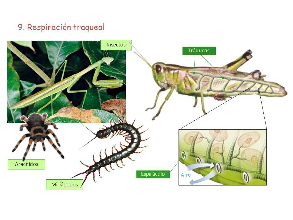 9. Respiración traqueal Insectos Tráqueas Arácnidos Espiráculo Aire
