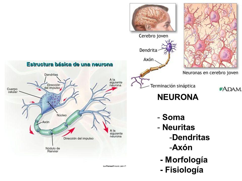 NEURONA Soma Neuritas Dendritas Axón - Morfología - Fisiología