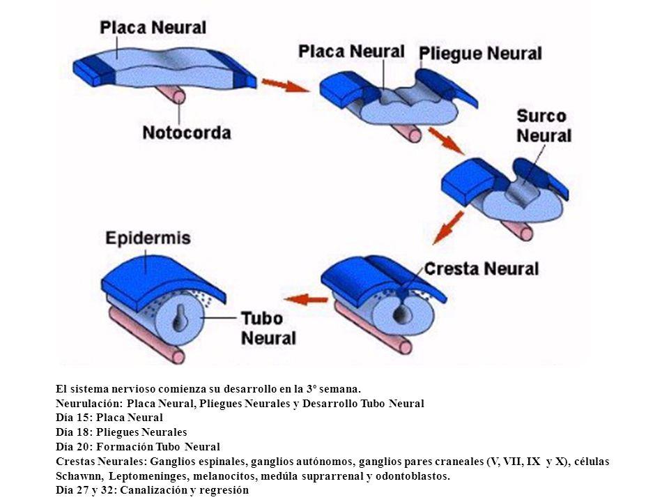 El sistema nervioso comienza su desarrollo en la 3º semana.