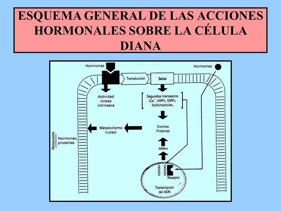 ESQUEMA GENERAL DE LAS ACCIONES HORMONALES SOBRE LA CÉLULA DIANA