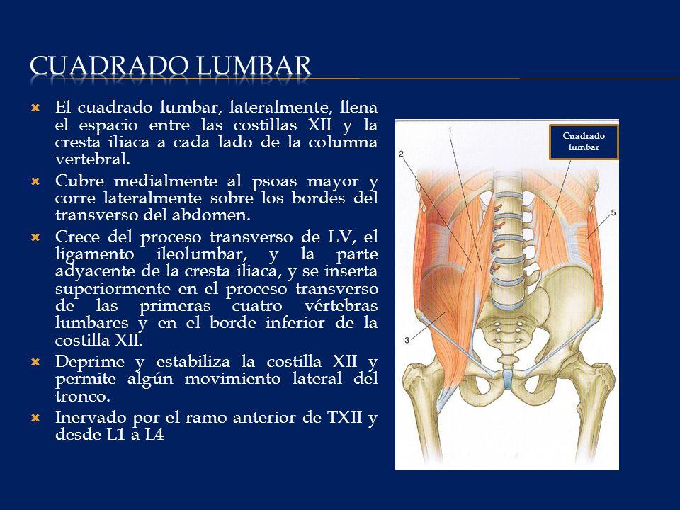 Cuadrado lumbar El cuadrado lumbar, lateralmente, llena el espacio entre las costillas XII y la cresta iliaca a cada lado de la columna vertebral.