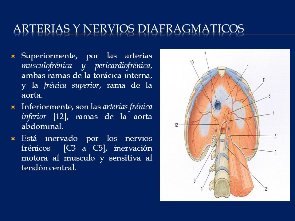 Arterias y nervios diafragmaticos