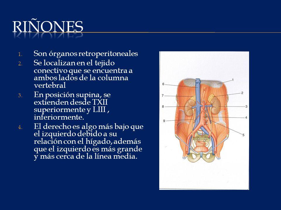 Riñones Son órganos retroperitoneales
