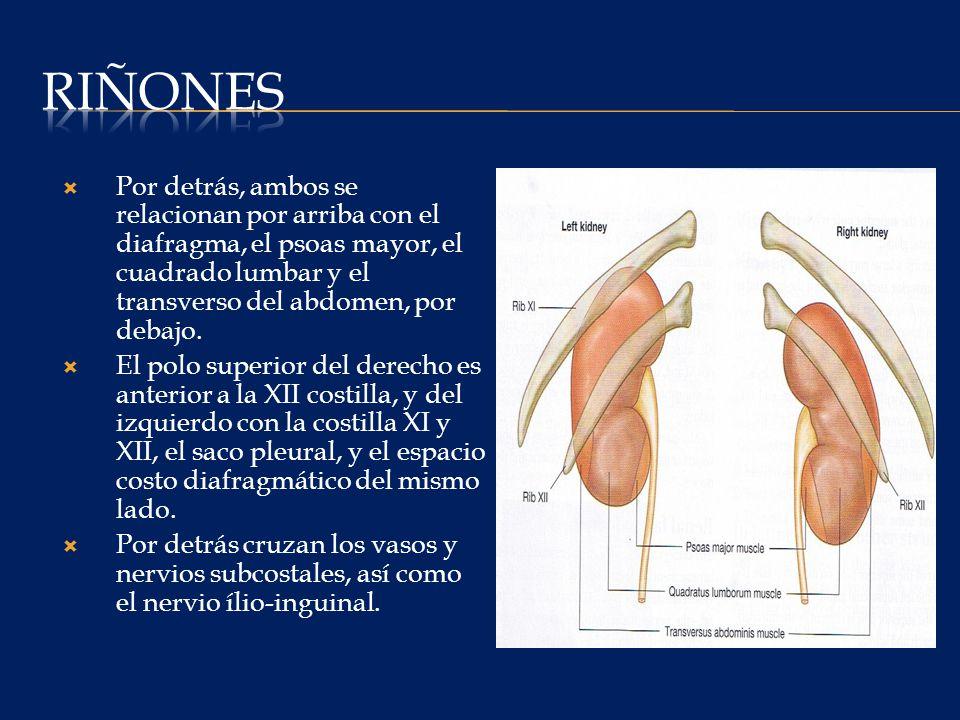 Riñones Por detrás, ambos se relacionan por arriba con el diafragma, el psoas mayor, el cuadrado lumbar y el transverso del abdomen, por debajo.