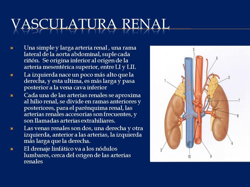 Vasculatura renal