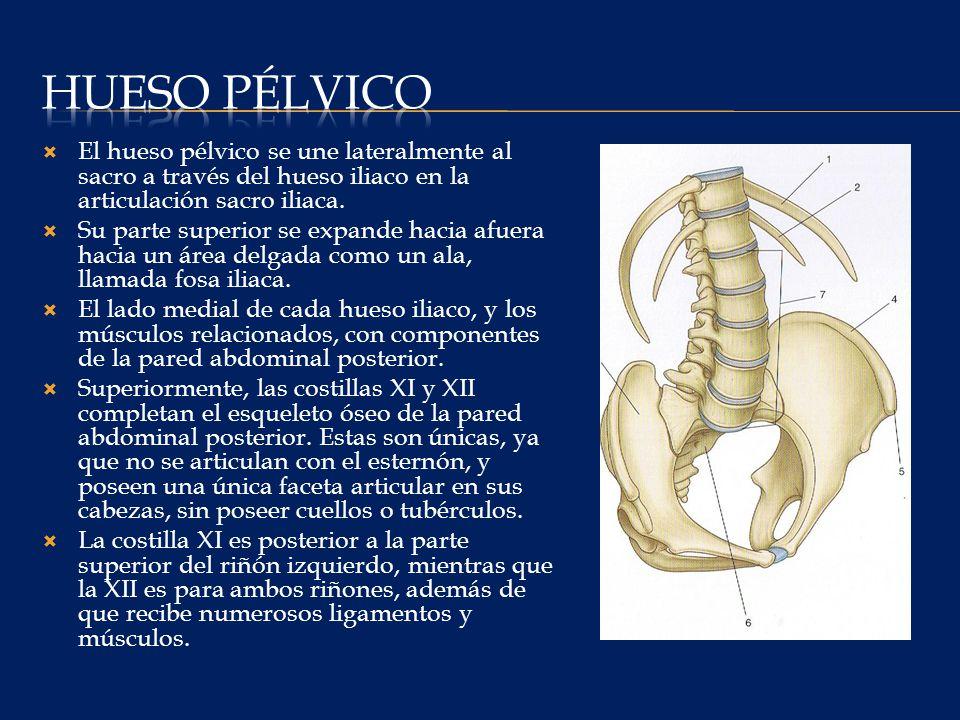 Hueso pélvico El hueso pélvico se une lateralmente al sacro a través del hueso iliaco en la articulación sacro iliaca.