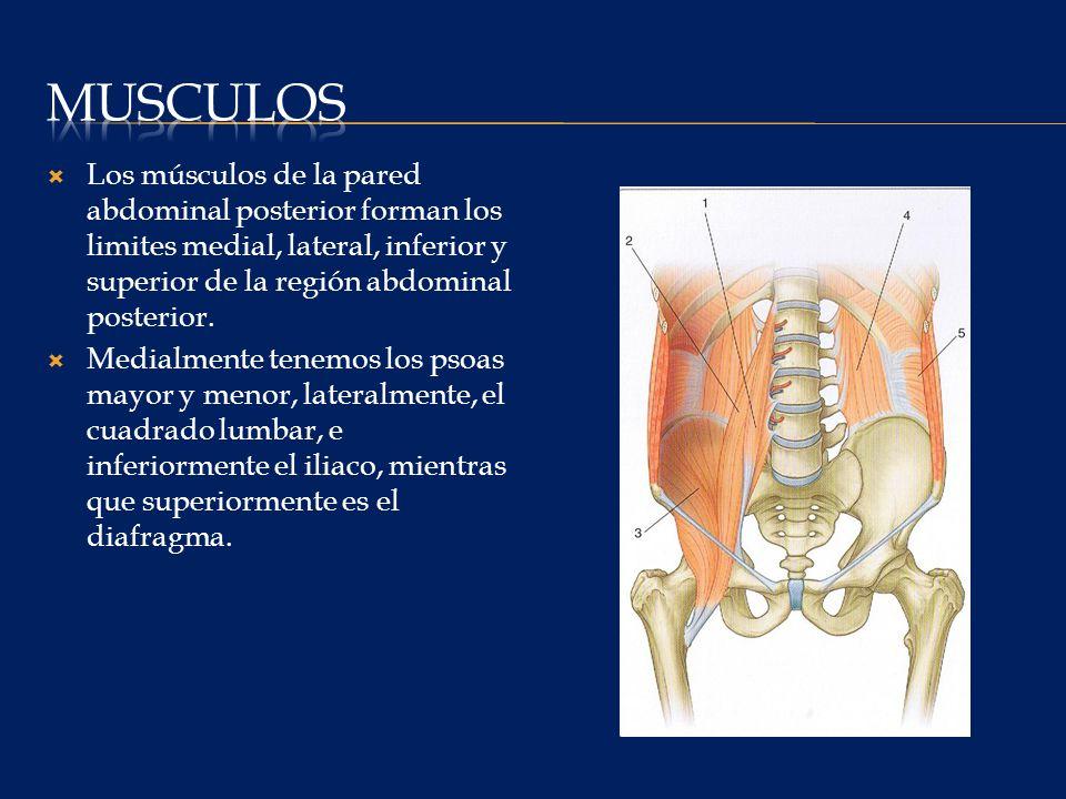 musculos Los músculos de la pared abdominal posterior forman los limites medial, lateral, inferior y superior de la región abdominal posterior.