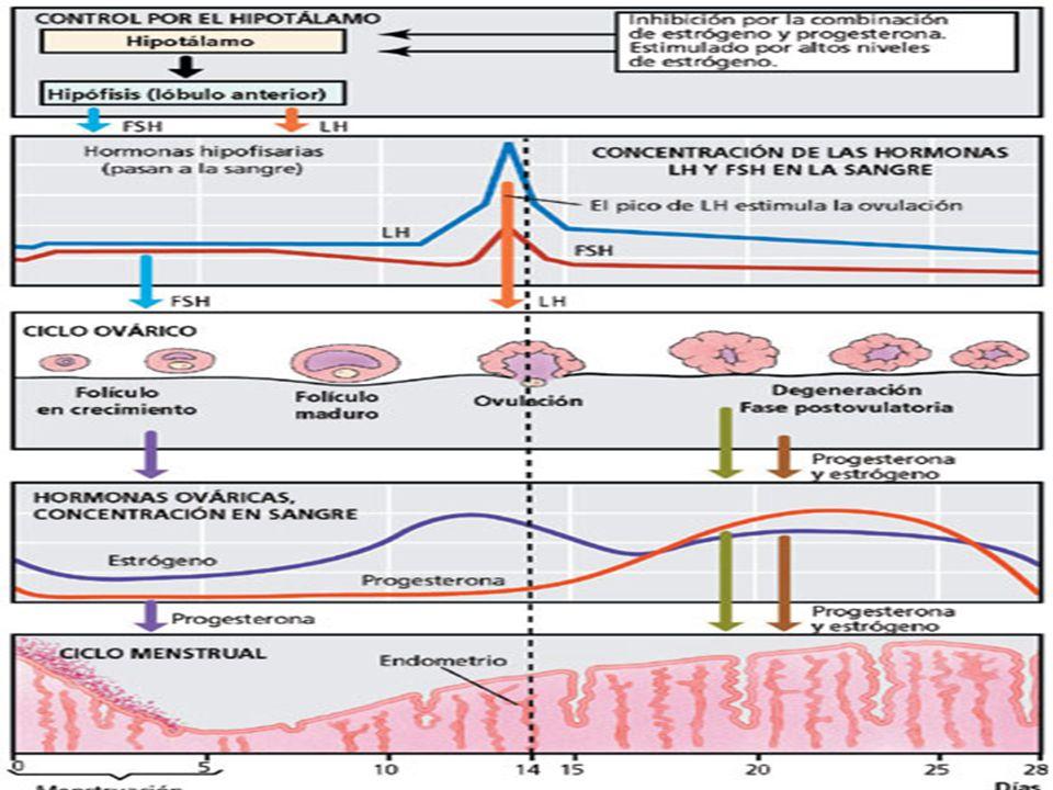 Mecanismo de Acción: Los anticonceptivos impiden la ovulación al inhibir la secreción de gonadotrofinas por parte de la hipófisis y el hipotálamo.