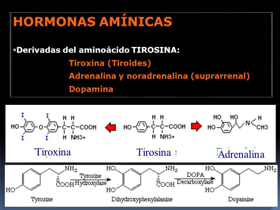 HORMONAS AMÍNICAS Tiroxina Tirosina Adrenalina