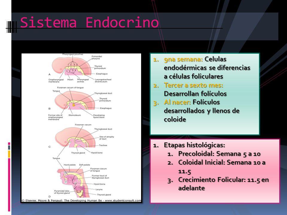 Sistema Endocrino 9na semana: Celulas endodérmicas se diferencias a células foliculares. Tercer a sexto mes: Desarrollan folículos.