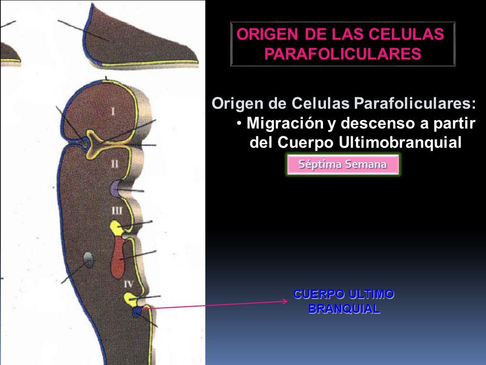 Origen de Celulas Parafoliculares: