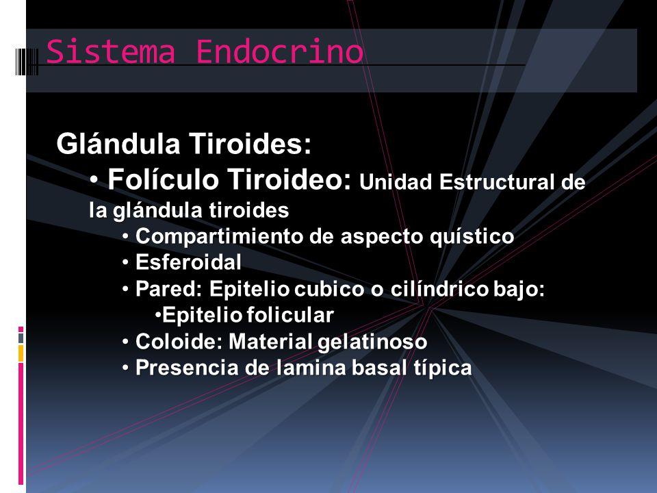 Sistema Endocrino Glándula Tiroides: