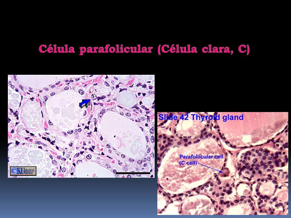 Célula parafolicular (Célula clara, C)