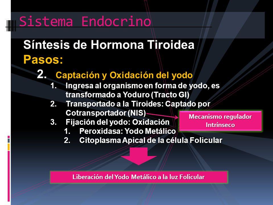 Sistema Endocrino Síntesis de Hormona Tiroidea Pasos: