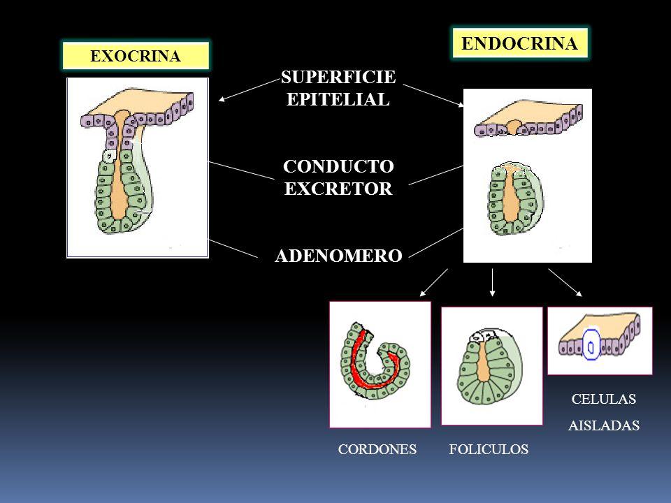 ENDOCRINA SUPERFICIE EPITELIAL CONDUCTO EXCRETOR ADENOMERO