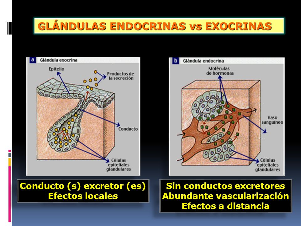 GLÁNDULAS ENDOCRINAS vs EXOCRINAS