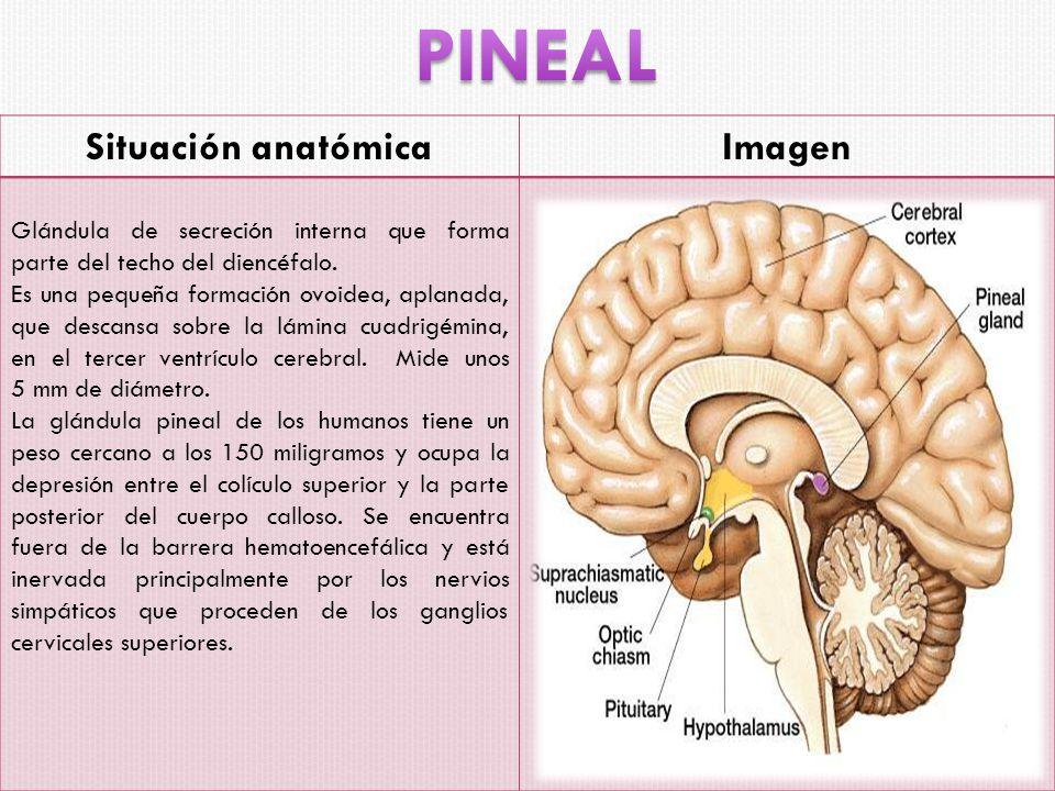 PINEAL Situación anatómica Imagen