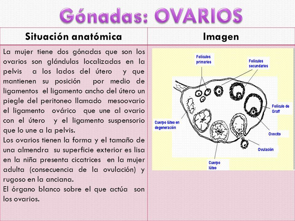 Gónadas: OVARIOS Situación anatómica Imagen