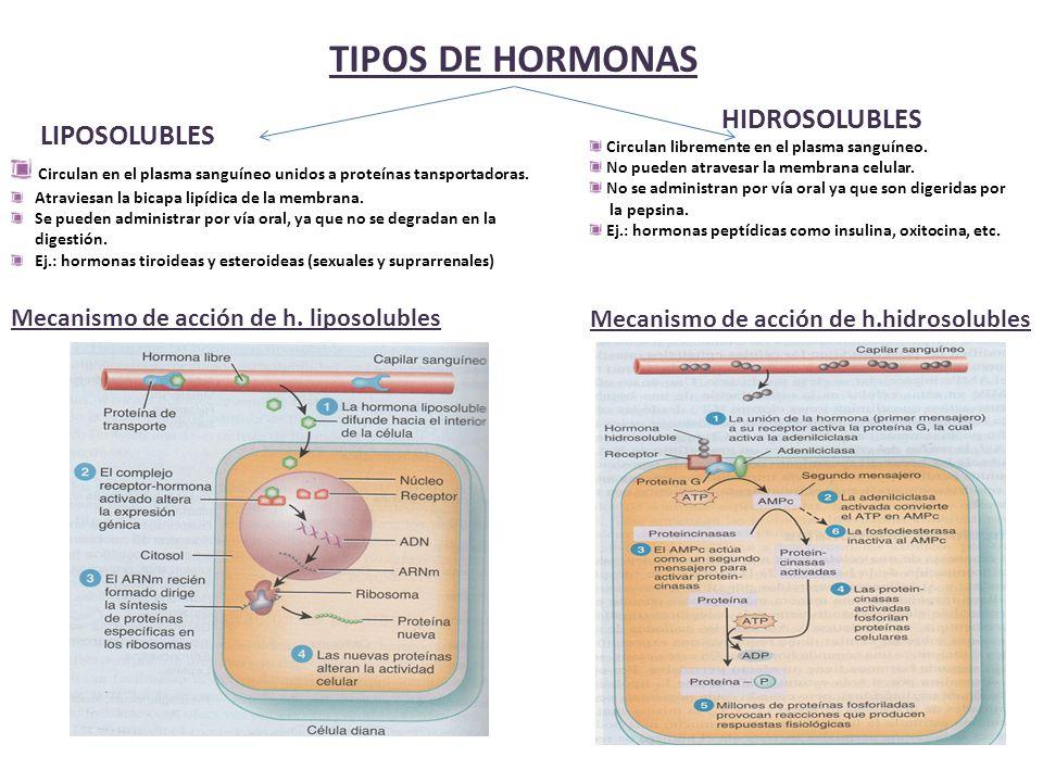 TIPOS DE HORMONAS HIDROSOLUBLES. Circulan libremente en el plasma sanguíneo. No pueden atravesar la membrana celular.