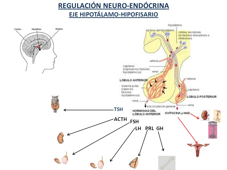 REGULACIÓN NEURO-ENDÓCRINA EJE HIPOTÁLAMO-HIPOFISARIO