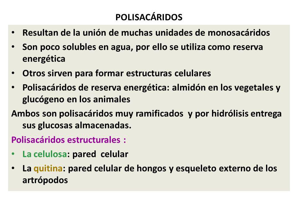 POLISACÁRIDOS Resultan de la unión de muchas unidades de monosacáridos. Son poco solubles en agua, por ello se utiliza como reserva energética.