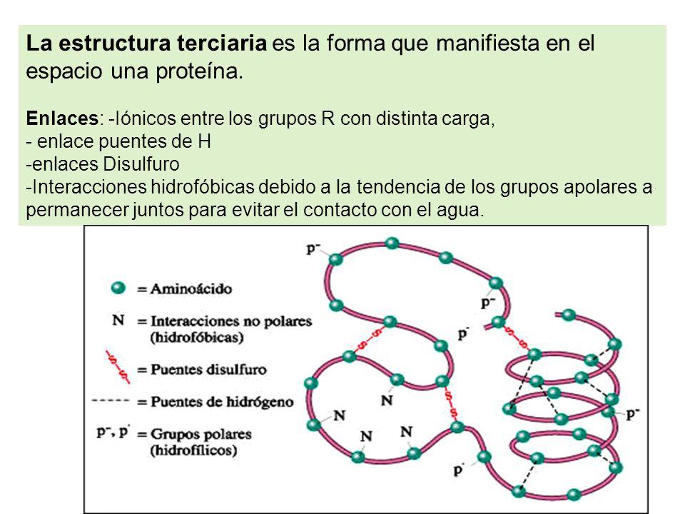 La estructura terciaria es la forma que manifiesta en el espacio una proteína.