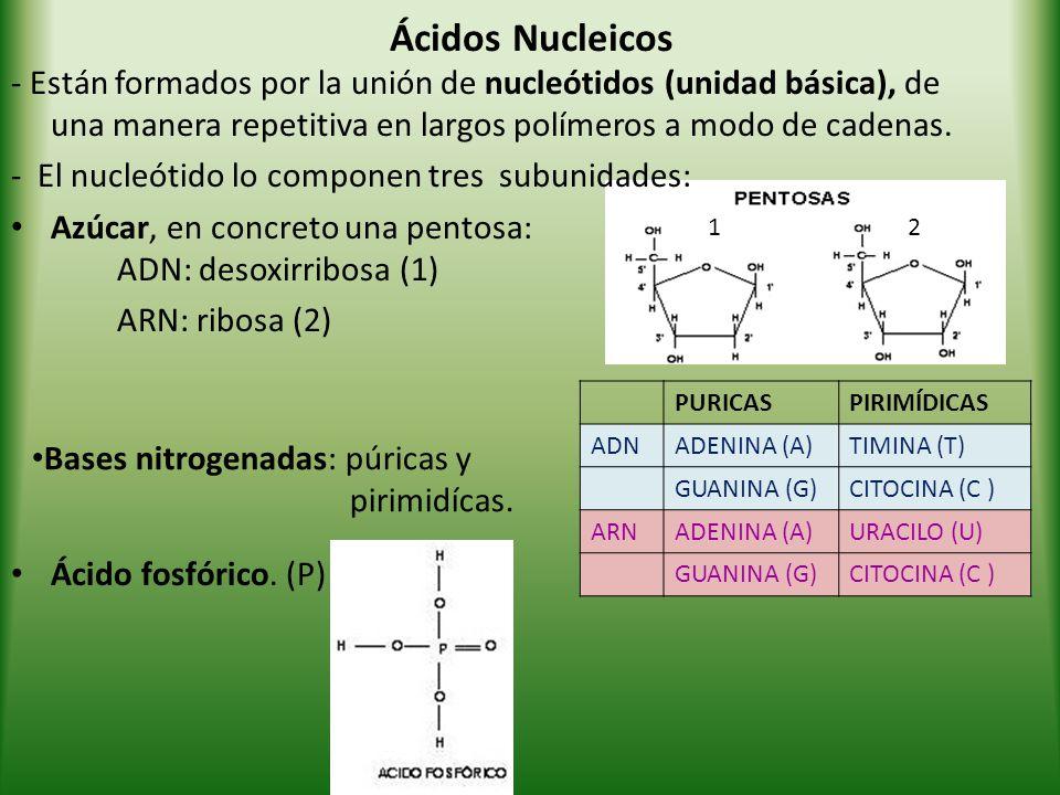 Ácidos Nucleicos - Están formados por la unión de nucleótidos (unidad básica), de una manera repetitiva en largos polímeros a modo de cadenas.