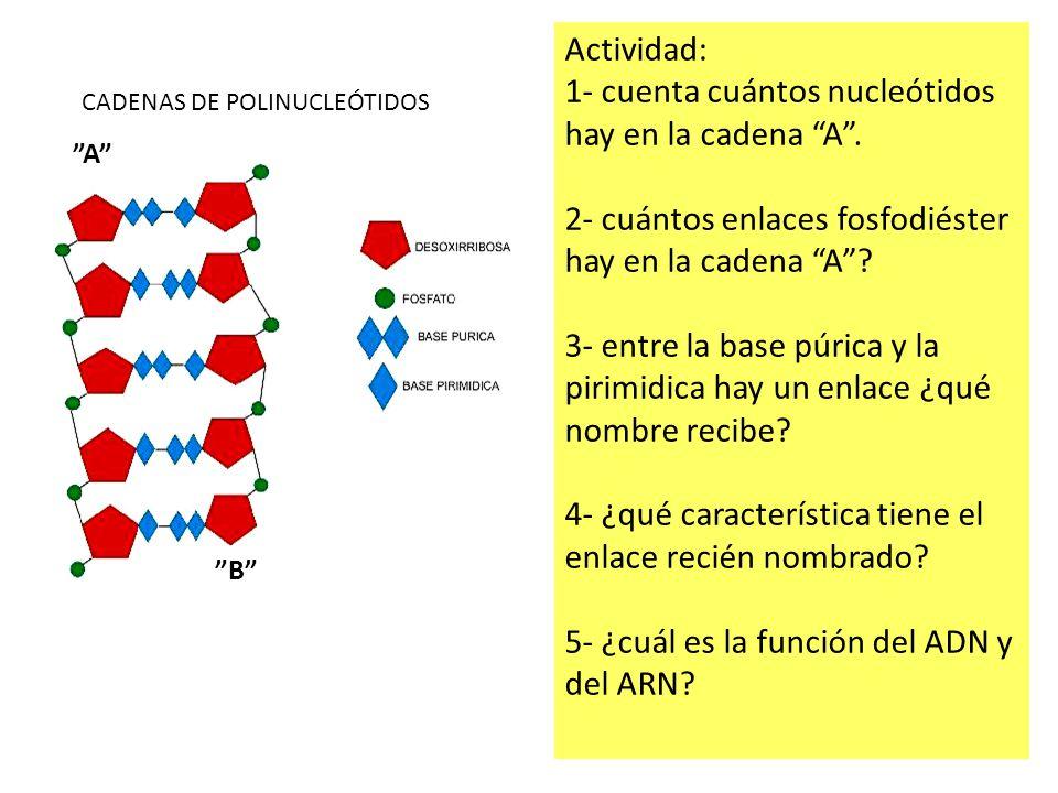 1- cuenta cuántos nucleótidos hay en la cadena A .