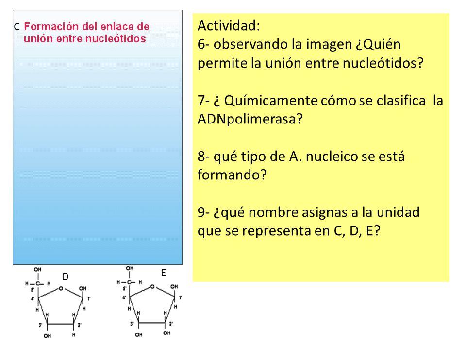 6- observando la imagen ¿Quién permite la unión entre nucleótidos