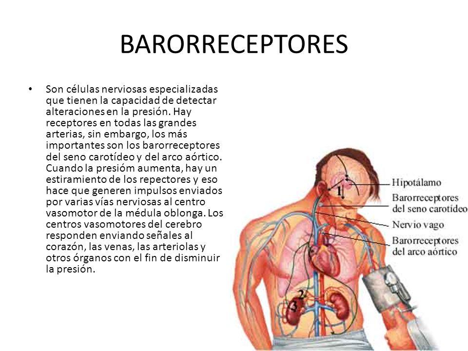 BARORRECEPTORES