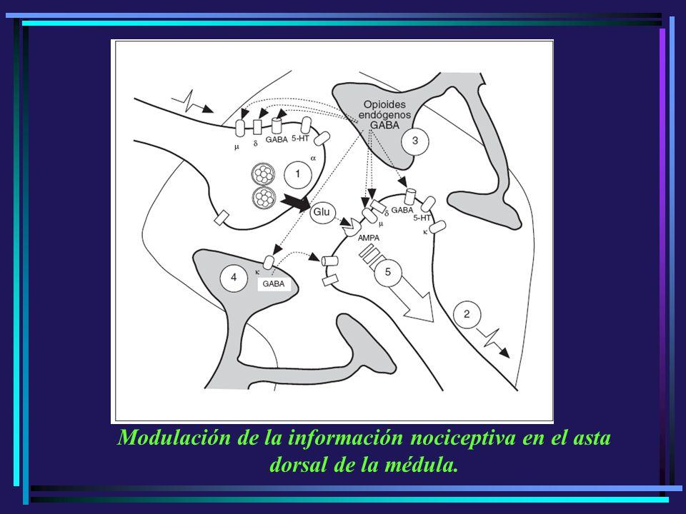 Modulación de la información nociceptiva en el asta dorsal de la médula.