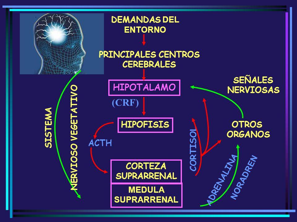 (CRF) HIPOTALAMO DEMANDAS DEL ENTORNO PRINCIPALES CENTROS CEREBRALES