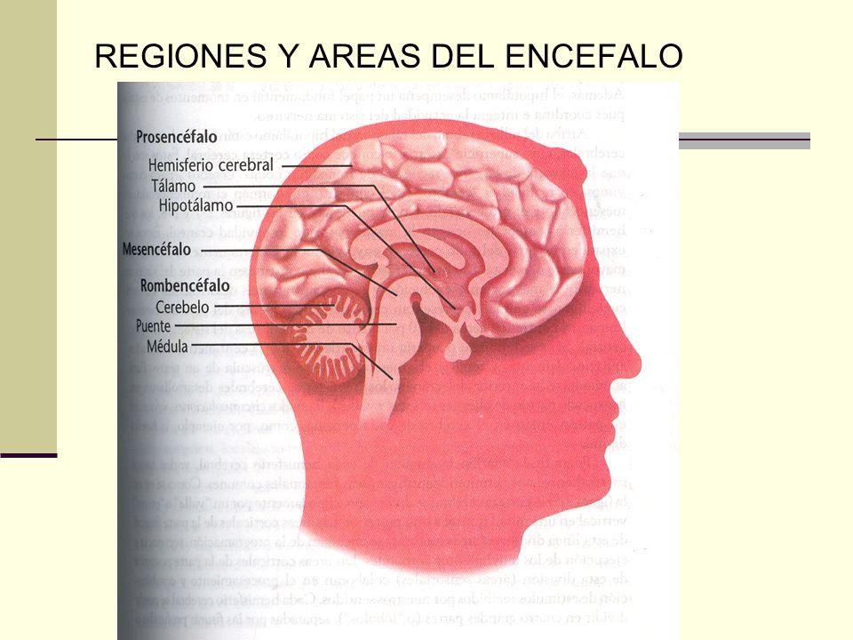REGIONES Y AREAS DEL ENCEFALO