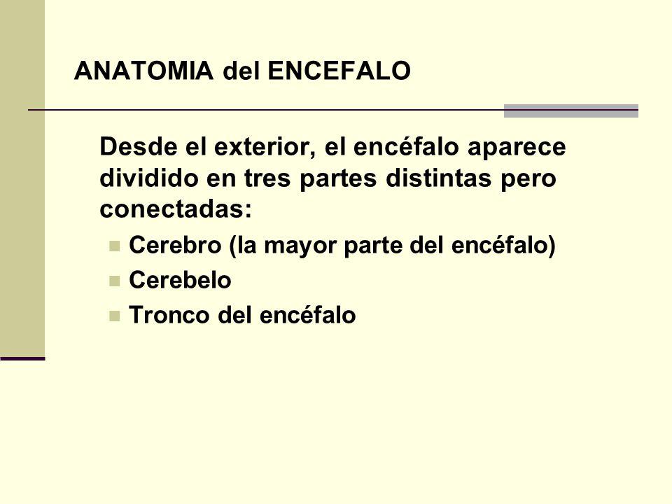 ANATOMIA del ENCEFALO Desde el exterior, el encéfalo aparece dividido en tres partes distintas pero conectadas: