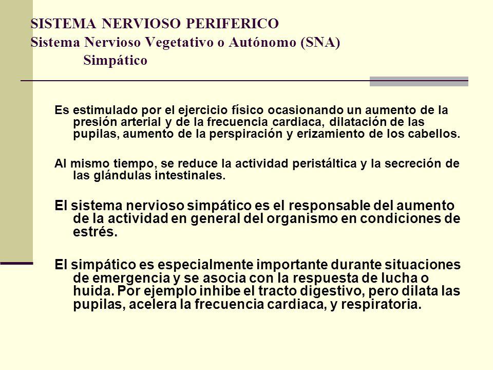 SISTEMA NERVIOSO PERIFERICO Sistema Nervioso Vegetativo o Autónomo (SNA) Simpático