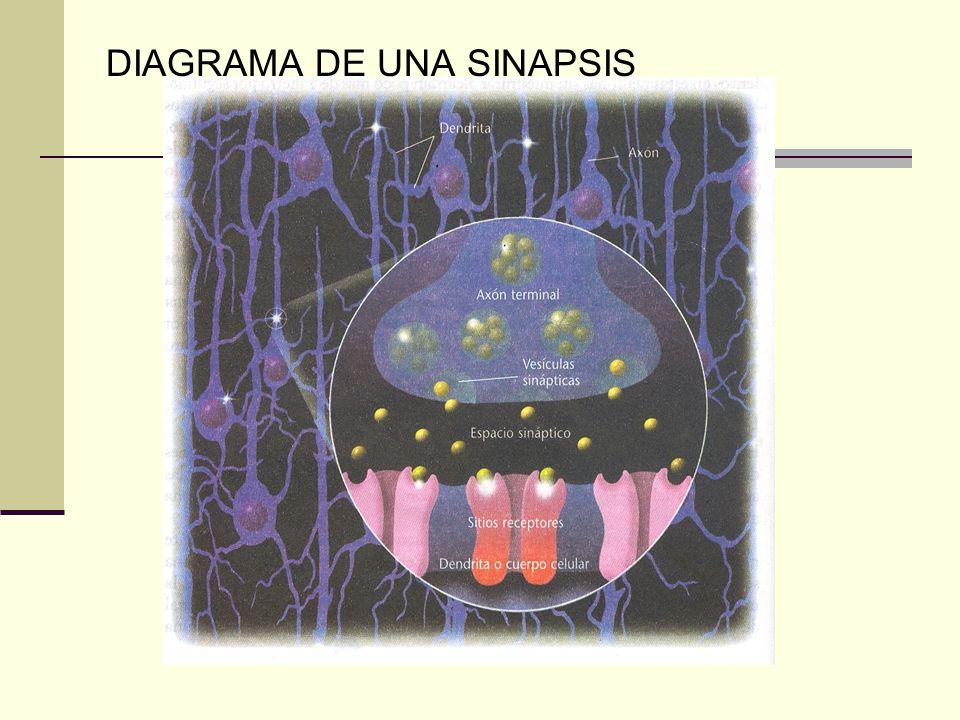 DIAGRAMA DE UNA SINAPSIS