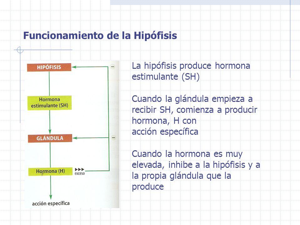Funcionamiento de la Hipófisis
